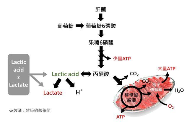 檸檬酸循環演示的能量產生路徑