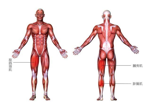 膕旁肌股四頭肌腓腸肌
