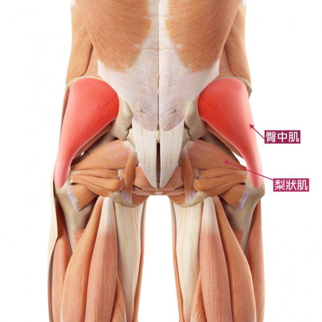 臀中肌、臀小肌、擴筋膜張肌、梨狀肌