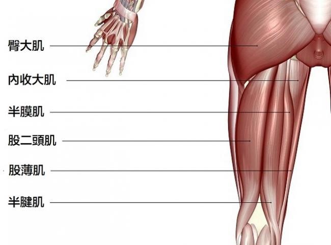 腿後肌由三個主要肌肉組成