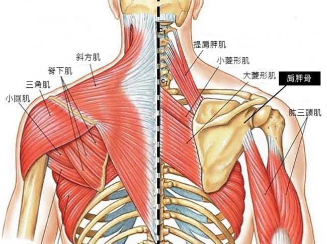 背部肌群圖解