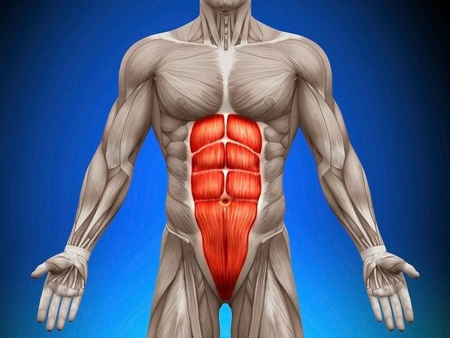 常說的六塊肌就是腹直肌Rectus abdominis