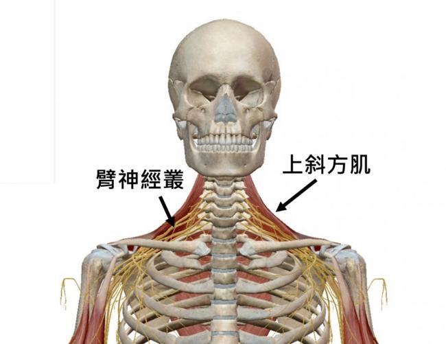 臂神經叢與上斜方肌