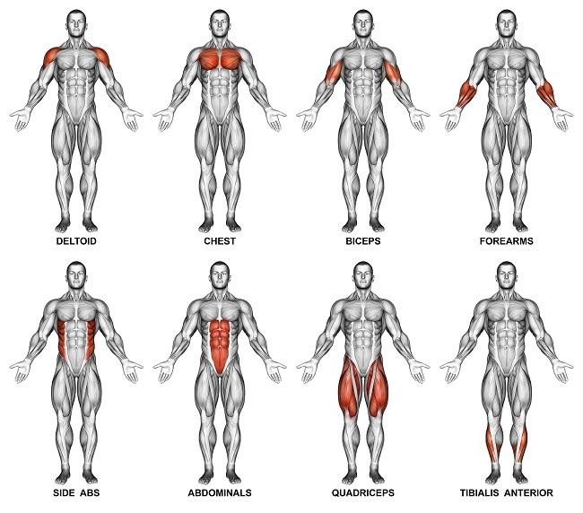 人體的七大肌肉群