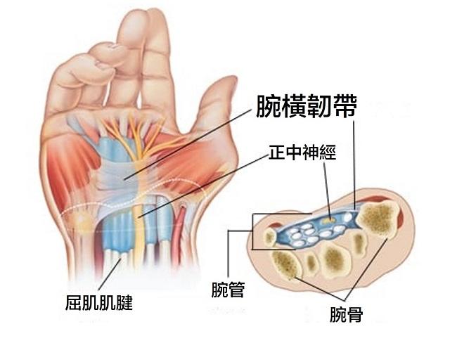 手腕解剖圖