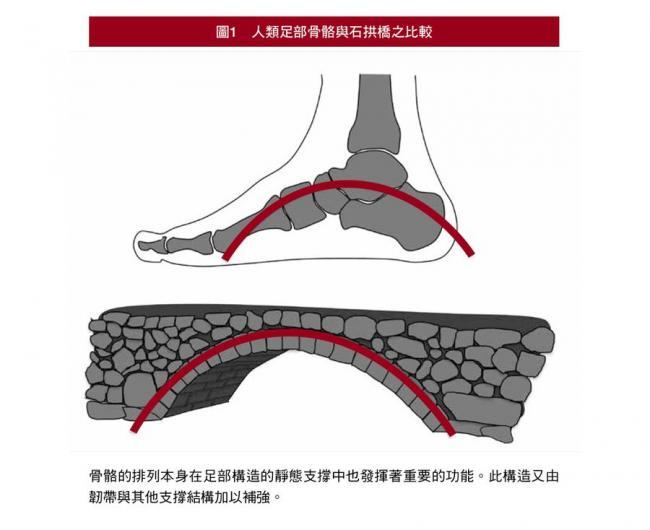 人類足部骨骼的排列就像石拱橋般