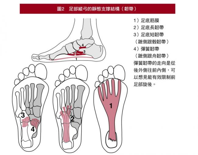 足部縱弓的靜態支撐結構(韌帶)