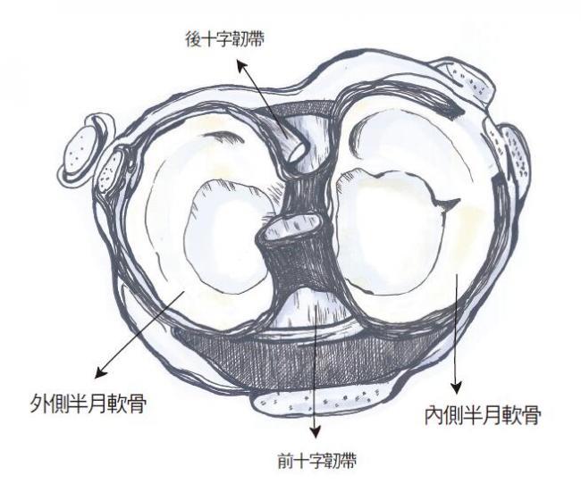 半月軟骨(半月板)