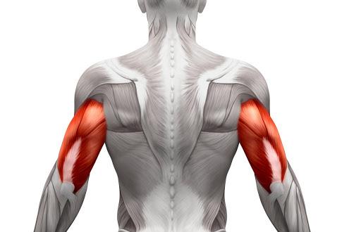 肱三頭肌的分佈