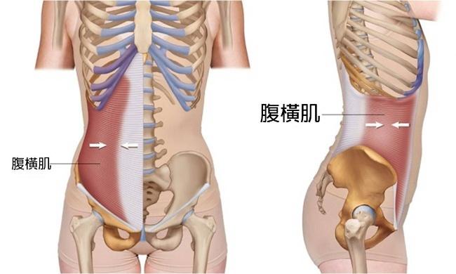 腹橫肌的位置