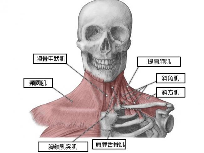 頸部週圍的肌肉