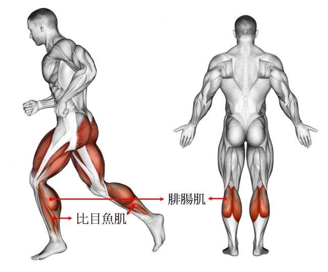 小腿後側的腓腸肌與比目魚肌