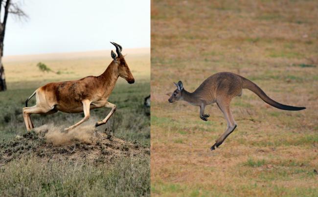 羚羊和袋鼠利用「彈弓效應」可以連續跳躍很高且遠
