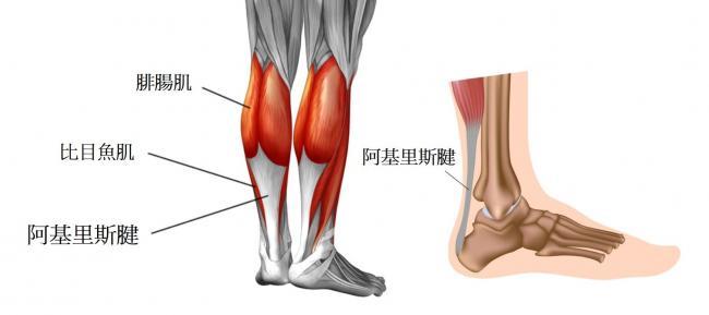 人類腿部的肌腱